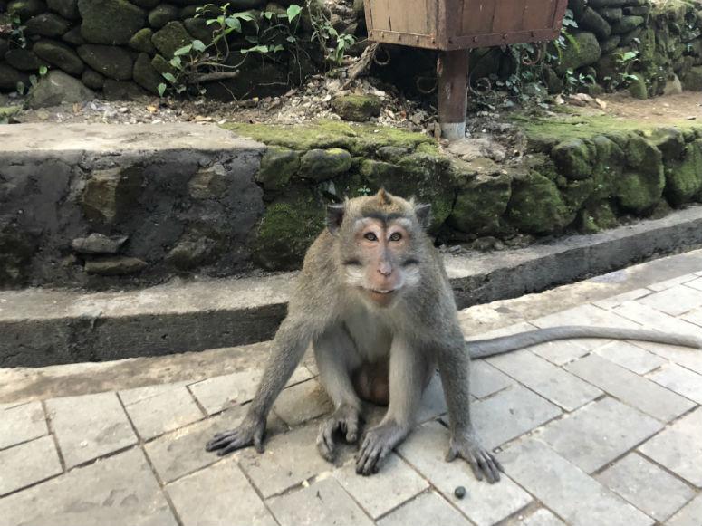 Affe im Monkey Forest Ubud Bali