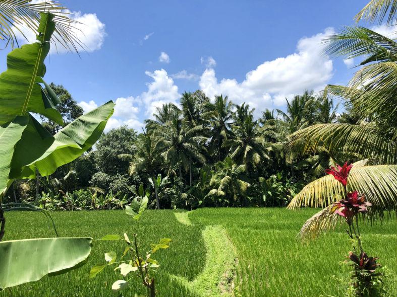 Gründe Reisfelder in Ubud Bali