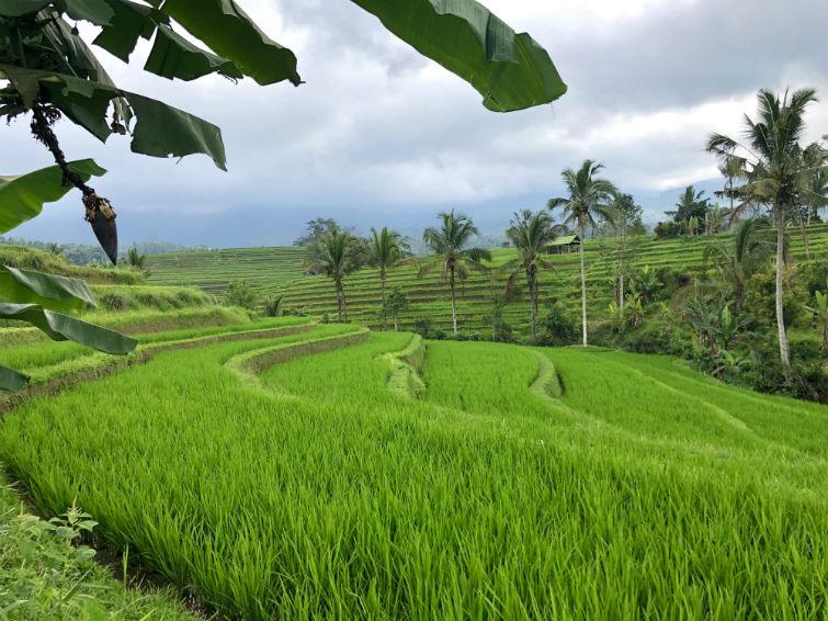 Bali Sehenswürdigkeiten, Jatiluwih Reisterrassen, Grüne Reisfelder