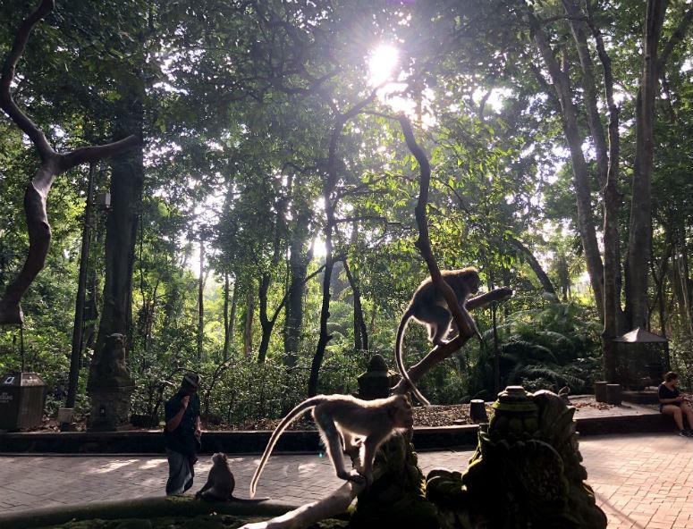 Affen auf Baum im Affenwald Ubud Bali