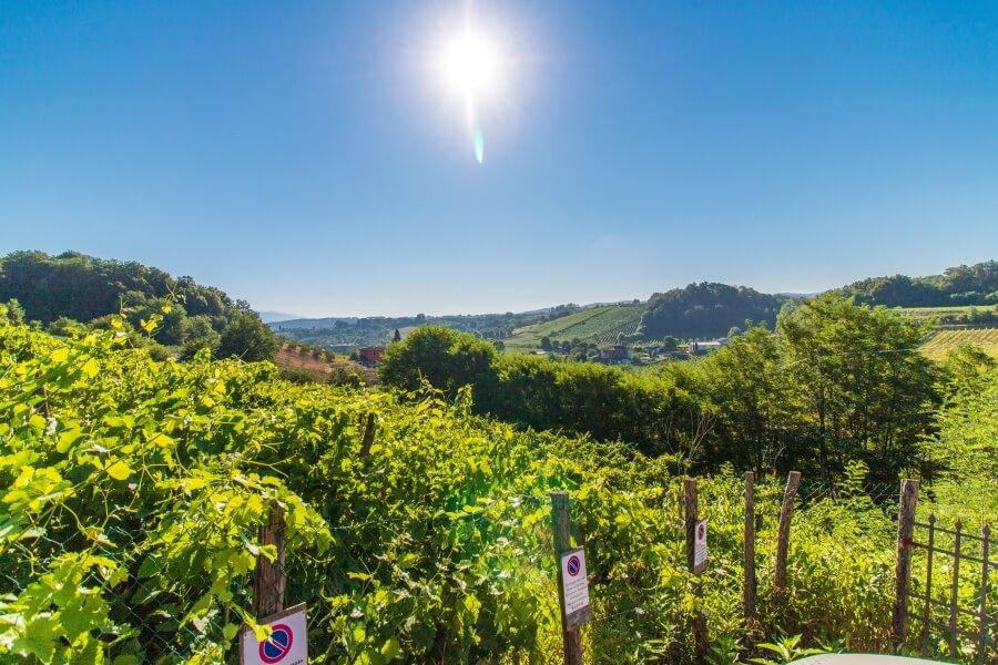 Blick auf grüne Weinberge