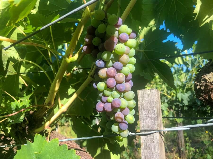 Helle und Dunkle Weintrauben an Weinreben